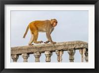Framed Monkey, Varanasi, India