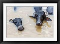 Framed Water Buffalo in Ganges River, Varanasi, India