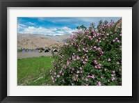 Framed Pink roses at campsite near the Hemis Monastery, Ladakh, India