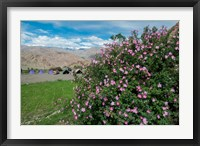 Framed Pink roses at campsite near the Hemis Monastery, Ladakh, India