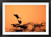 Framed Painted Stork against a sunset sky, India