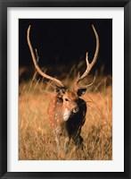 Framed Chital in Bandhavgarh National Park, India