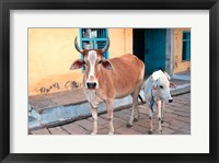 Framed Cow and calf on the street, Jojawar, Rajasthan, India.