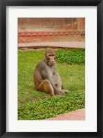Framed Monkey, Uttar Pradesh, India