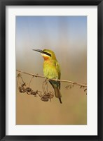 Framed Bluetailed Bee eater, Corbett NP, Uttaranchal, India