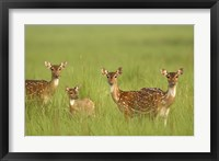Framed Chital Deer wildlife, Corbett NP, Uttaranchal, India