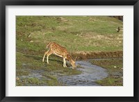 Framed Chital wildlife, Corbett NP, Uttaranchal, India