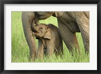 Framed Elephant and Young, Corbett National Park, Uttaranchal, India