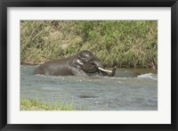 Framed Elephant taking bath, Corbett NP, Uttaranchal, India