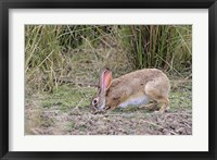 Framed Indian Hare wildlife, Ranthambhor NP, India