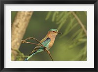 Framed Indian roller bird, Corbett NP, Uttaranchal, India