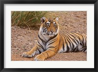 Framed Portrait of Royal Bengal Tiger, Ranthambhor National Park, India