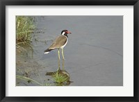 Framed Redwattled Lapwing bird, Corbett NP, India.