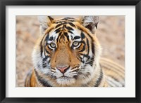 Framed Royal Bengal Tiger Head, Ranthambhor National Park, India