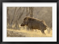 Framed Wild Boar, Ranthambhor National Park, India