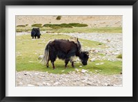 Framed India, Jammu and Kashmir, Ladakh, yaks eating grass on a dry creek bed
