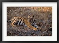Framed Tiger in Ranthambore National Park, India