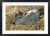 Framed Baby Calf, Cow, Farm Animal, Orissa, India