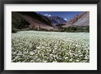 Framed India, Ladakh, Suru, White flower blooms