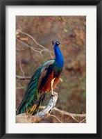 Framed Indian Peacock, Ranthambhor National Park, India
