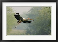 Framed Painted Stork in flight, Keoladeo National Park, India