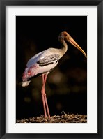 Framed Painted Stork, Bharatpur, Keoladeo National Park, Rajasthan, India