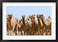 Framed Camels in the desert, Pushkar, Rajasthan, India