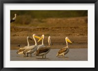 Framed Great White Pelican bird, Velavadar, Gujarat, SW INDIA