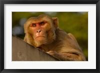 Framed Rhesus Macaque, Bird, Bharatpur. Rajasthan. INDIA