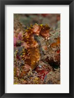 Framed Close-up of adult spiny seahorse