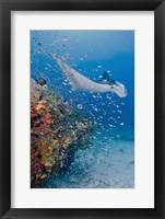 Framed Manta ray, fish and coral, Raja Ampat, Papua, Indonesia