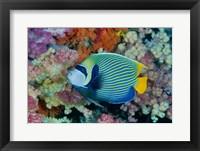 Framed Underwater scene of angelfish and coral, Raja Ampat, Papua, Indonesia