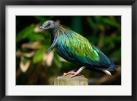 Framed Nicobar Pigeon bird, Indonesia