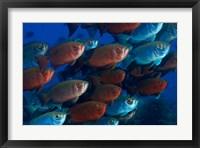 Framed Bigeye fish