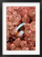 Framed Clark's anemonefish
