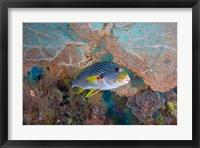 Framed Sweetlip fish, sea fan coral