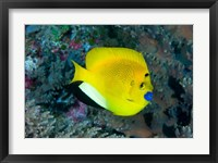 Framed Angelfish swims in coral reef