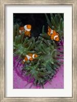 Framed Clownfish swim among anemone tentacles, Raja Ampat, Indonesia