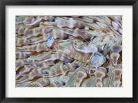 Framed Shrimp, Anemone, marine life