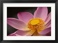 Framed Lotus Bloom, Nyuh Kuning Village, Ubud, Bali, Indonesia