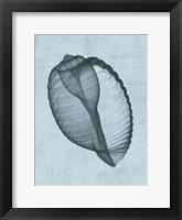 Banded Tun Shell (light blue) Framed Print