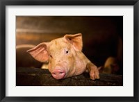 Framed Pig Farm, Bali, Indonesia