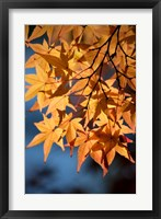 Framed Autumn maples on grounds of Hiroshima Castle, Japan