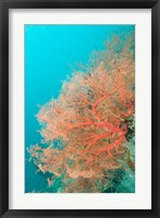 Framed Sea Fan, Raja Ampat region, Papua, Indonesia