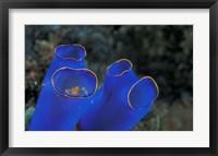 Framed Crab Peeking From Tunicate, Irian Jaya, Indonesia