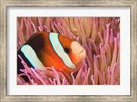 Framed Anemonefish, Scuba Diving, Tukang Besi, Indonesia