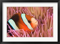 Framed Anemonefish, Scuba Diving, Tukang Besi, Indonesia