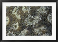 Framed Coral Polyps Feeding, Papua, Indonesia