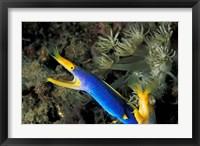 Framed Indonesia, Sulawesi, Blue ribbon eel marine life