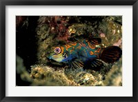 Framed Indonesia, Indo Pacific Mandarinfish